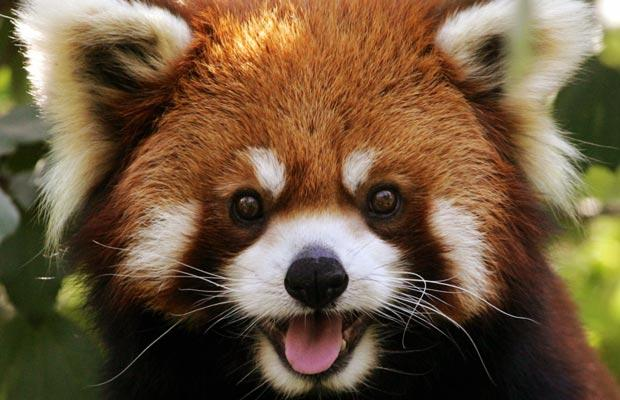 Cute Red Pandas! - YouTube - HD Wallpapers